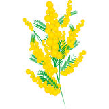 Mimosa for Women's Day Stock Photography