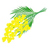 Mimosa for Women's Day Royalty Free Stock Photo