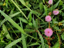 Mimosa y x28; Makahiya& x29; Imagenes de archivo