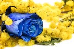Mimosa y rosa del azul Foto de archivo