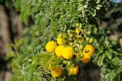 Mimosa Royalty Free Stock Image