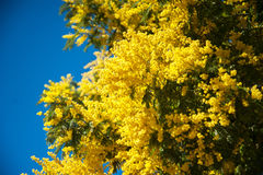 Mimosa Royalty Free Stock Photos