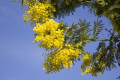 Mimosa flowers on blue sky. Mimosa yellow spectacular blossom on blue sky royalty free stock images