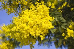 Mimosa flowers on blue sky. Mimosa yellow spectacular blossom on blue sky royalty free stock photography