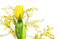 Mimosa and yellow tulip Stock Images