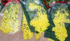 Mimosa yellow for women's day on 8 March Stock Photos