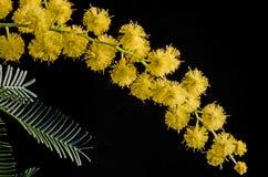Mimosaakacia Dealbata Royaltyfri Bild