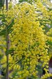 Mimosabloem Stock Foto's