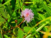 Mimosabloem Royalty-vrije Stock Foto's