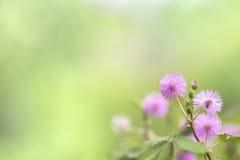Mimosabloemen Royalty-vrije Stock Afbeeldingen