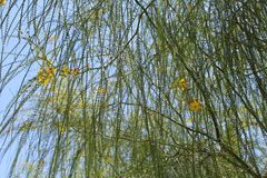 Mimosablomma royaltyfria foton