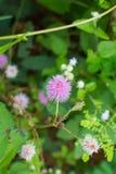 Mimosablomma royaltyfri bild