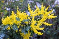 Mimosablommor Fotografering för Bildbyråer
