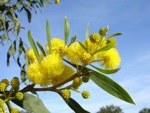 Mimosablomningar Royaltyfri Fotografi
