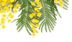 Mimosafilialslut upp Royaltyfri Foto