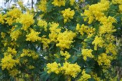 Mimosan blommar i blom Royaltyfria Bilder