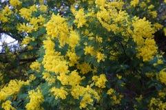 Mimosan blommar i blom Arkivfoton