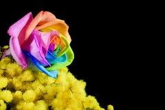 Mimosan och mångfärgat steg Arkivfoto