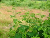 Mimosapudica in cornfield Royalty-vrije Stock Foto's