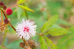 Mimosapudica Linn stock foto's
