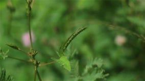 Mimosapudica sluit wanneer het meisje wat betreft bladeren stock videobeelden