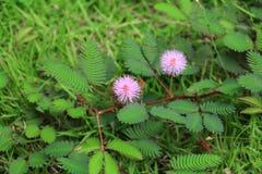Mimosapudicablomma av den blyga växten Arkivbilder