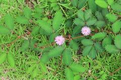 Mimosapudicablomma av den blyga växten Royaltyfria Bilder
