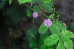 Mimosapudicaväxt royaltyfri fotografi