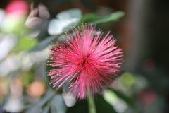 Mimosarosa färgblomma Royaltyfria Bilder