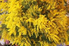 mimosas image stock