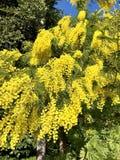 Mimosa flowers stock photo