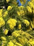 Mimosas dans la fleur photo stock