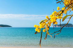 Mimosas sea beach sardinia yellow. First floor of mimosa flowers in spring to the sea Royalty Free Stock Photo