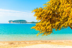 Mimosas in spring on the beach. Landscape of a beach in spring with a mimosas on first floor Stock Photos