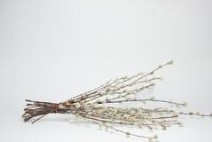 Mimosatak Stock Afbeelding