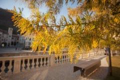 Mimosaträdflorescence i Serravalle, Vittorio Veneto, Italien royaltyfri fotografi