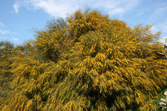 mimosatree royaltyfri bild