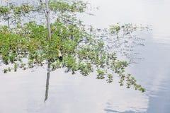 Mimosawater MI dell'acqua della mimosa dell'acqua della mimosa del mimosawater dell'acqua fotografie stock