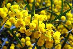 Mimose Stockbilder