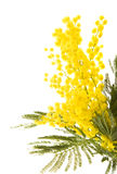 Mimose Stockbild