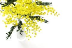 Mimose Lizenzfreie Stockbilder