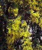 Mimose. Stockbilder