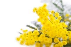Mimose Lizenzfreie Stockfotos