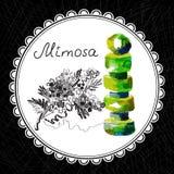 mimose Stockfotos