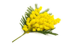 mimose Stockfotos