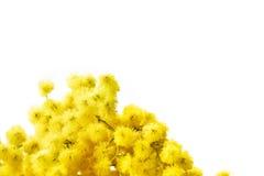 Mimose Lizenzfreie Stockfotografie