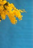 Mimose auf blauem Hintergrund Lizenzfreies Stockfoto