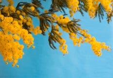 Mimose auf blauem Hintergrund Stockfotos
