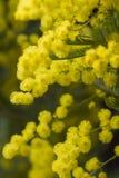 Mimose in der Blüte Stockfotos
