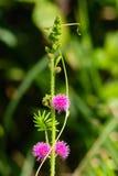 Mimose des wilden Rosas lizenzfreie stockfotos